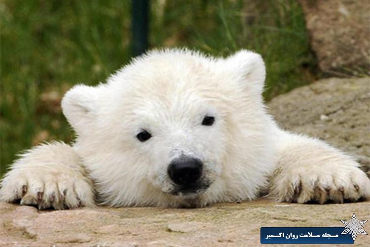 خرس سفید
